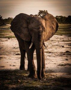 Bull Elephant Cruising