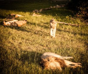 More Lions in Hwange