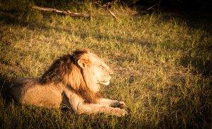 Alpha Male Lion